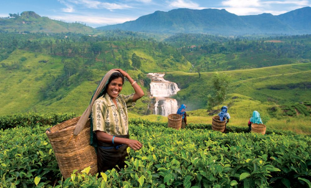Things To Do in Kandy - Tea Plantations Visit
