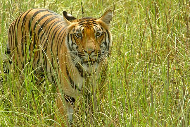 Adventures in India: Kanha tiger safari