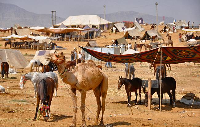 Camels and tents at Pushkar Camel Fair