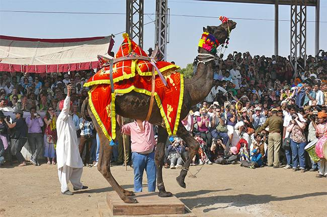 Pushkar Camel Fair - camel contest