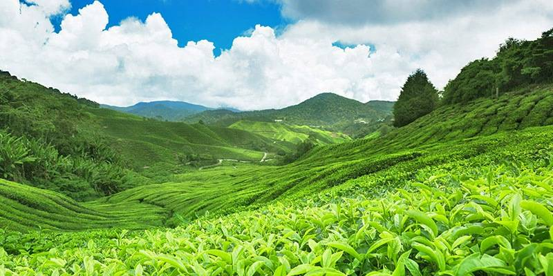 Ultimate Sri Lanka Travel Guide - Tea Plantation Tours