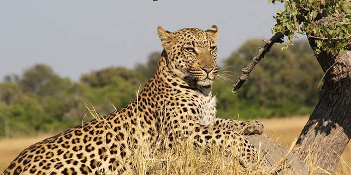 Leopard Safari - Things To Do on a Sri Lanka Holiday