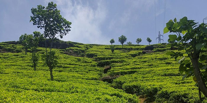 Visit Ceylon Tea Plantations - Things To Do on a Sri Lanka Holiday
