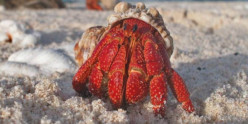 Things to Do in Lakshadweep - Hermit Crab & Marine Life
